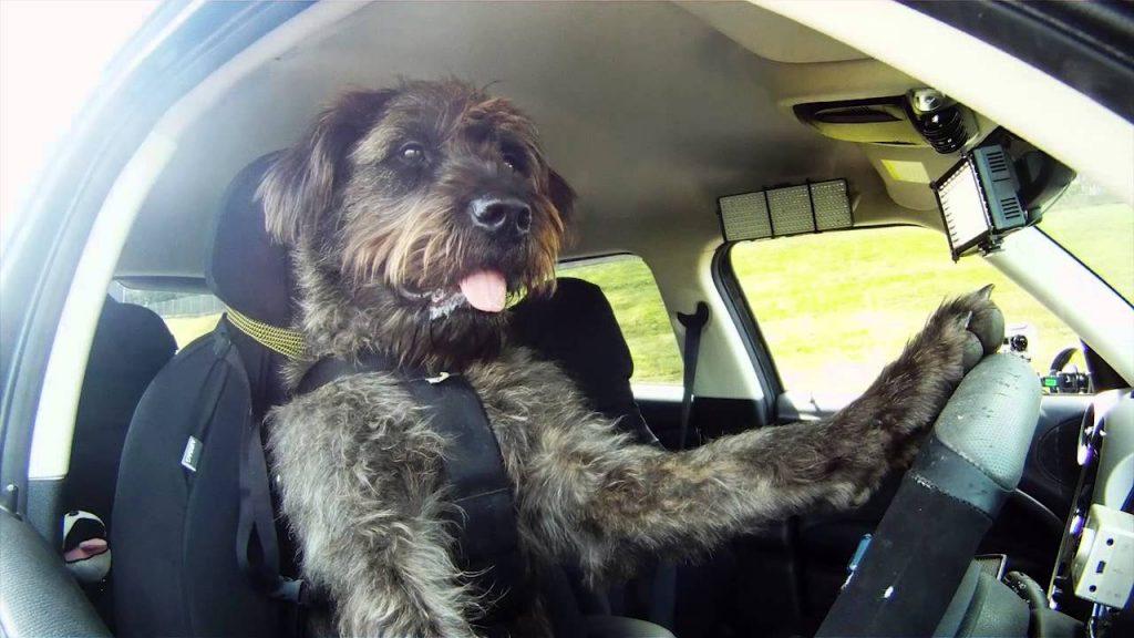 Suņi – šoferi!