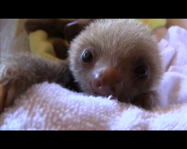 VIDEO – Iepazīsties, sliņķi! (Meet the sloths)