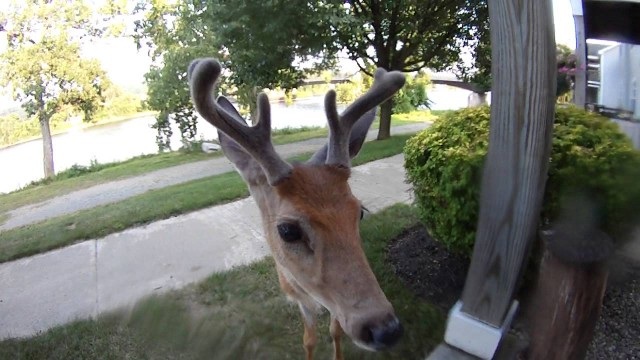 VIDEO – Mazu briedēnu ieinteresē kamera! (Deer walks up and licks the lens of my camera)
