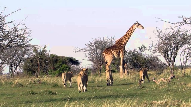 VIDEO – Žirafe pasargā savu mazuli no lauvu bara. (Giraffe saves days old calf from pride of lions)