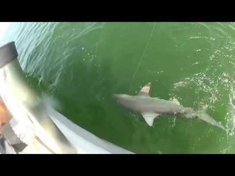 VIDEO – Asaris norij haizivi vienā kumosā. (Grouper eats 4ft shark in one bite)