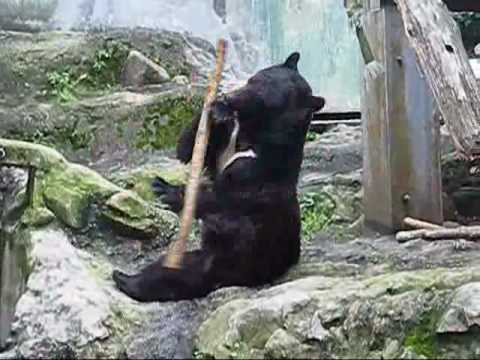 VIDEO – Kung Fu lācis! (Kung Fu Bear- Unedited Footage(NOT FAKE!)-ORIGINAL)