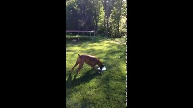 VIDEO – Suņa neaprakstāmie prieki par strūklaku. (Dog loves new water fountain)