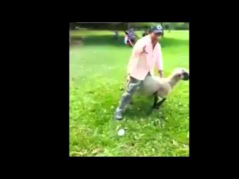VIDEO – Aita atriebjas dzērājam. (Drunk Guy Rides A Sheep And Pays The Price)