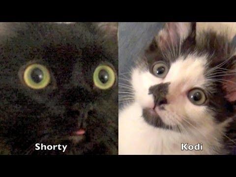 VIDEO – Kā iepazīstināt 2 kaķus? (How to introduce 2 cats to each other?)