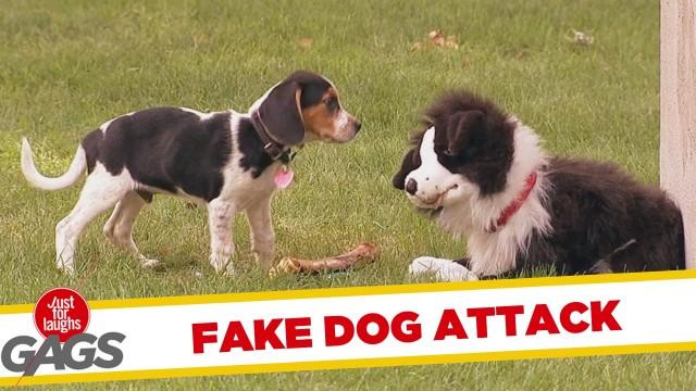 VIDEO – Suņu izjokošana. (Stuffed Dog Attacks Real Dog)