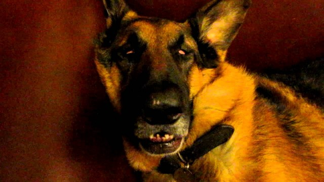 VIDEO – Šis suņuks bija iesnaudies ne pa jokam! (German Shepherd – dreaming and waking up)