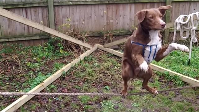 VIDEO – Apbrīnojami! Suns – virves dejotājs! (Amazing Acrobatic, Rope balancing Dog)