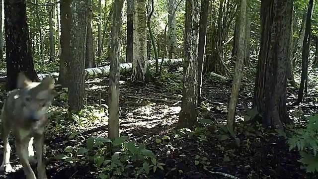 VIDEO – Ķemeru nacionālajā parkā ar slēptajām kamerām nofilmēti savvaļas vilki. (Wild Wolfs In Moorland)