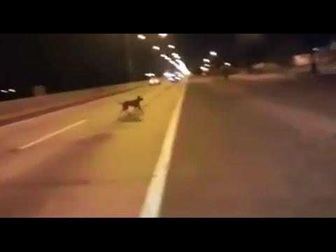 VIDEO: Aculiecinieka video: Suns uz šosejas teleportējas no nekurienes! (Dog teleports out of nowhere!)