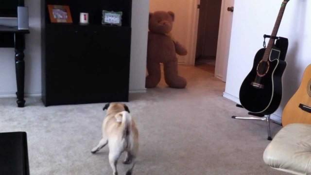 VIDEO: Kā suns atriebās saimniekiem par kacināšanu!? (PUG CRAPS from Teddy BEAR SCARE!!!)