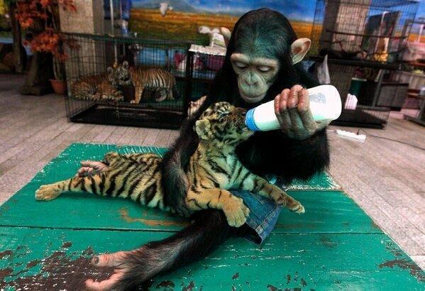 VIDEO: Šimpanze iejūtas tīģerēna mammas lomā! (Monkey feeds baby tiger!)