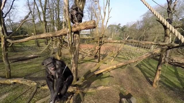 VIDEO: Šimpanzes lielais ķēriens! (Chimpanzees going crazy!)