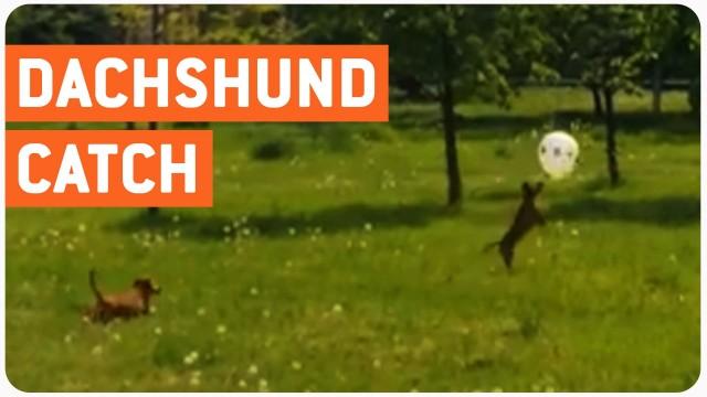 """VIDEO: Takšu izmisīgā """"cīņa"""" ar balonu! (Dachshund Pups Play Catch!)"""