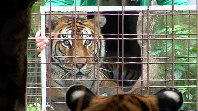 """VIDEO: Tīģeri un citi """"lieli kaķi"""" aci pret aci ar spoguli. (Big Cats + Mirrors)"""