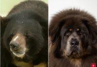Ģimene saprot, ka viņu suns varētu būt lācis pēc tam, kad dzīvnieks sāk staigāt pa māju uz divām kājām