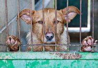 Grilēts suns vai suns karijā, izvēlies, ko vēlies – suņa gaļas izmantošana pārtikā Kambodžā