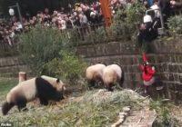 VIDEO: Maza meitene izglābta pēc iekrišanas pandas nožogojumā rezervātā