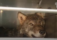 Igaunijā tiek izglābts suns; vēlāk atklājas, ka tas ir vilks