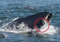 VIDEO: Valis kopā ar sardīnēm norij nirēju; vīrietis paspēj izrauties no vaļa mutes pirms tiek sagremots
