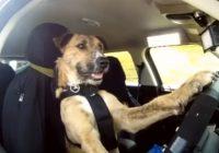 VIDEO: Iepazīsties ar suni, kurš vada automašīnu!