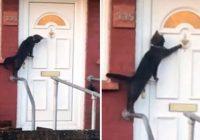 VIDEO: Britu pieklājīgākais kaķis nofilmēts klauvējot pie sava saimnieka durvīm