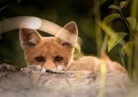 VIDEO: Kaķi sargsuņa vietā – Bella, Pelīte un Garnadzis aizstāv teritoriju un skarbi izrēķinās ar lapsu
