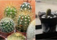 Vīrieti apmāna kolēģi liekot domāt, ka iestādītais marinētais gurķis podiņā ir kaktuss