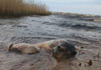 Šausminošs skats Peipusa ezera pludmalē, kurā jau otro nedēļu peld vērša līķis