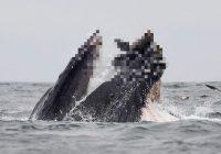 FOTO: Pirmo reizi iemūžināts kadrs, kurā redzams, kā vaļa mutē nonāk jūras lauva