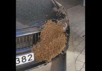 VIDEO: Bitenieki beidzot atbrīvojušies no bitēm, kas Rīgas centrā bija apsēdušas BMW