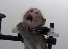 VIDEO: Pērtiķi kliedz sāpēs – tiek nofilmēts video, kā vācu laboratorijā eksperimentē ar dzīvniekiem